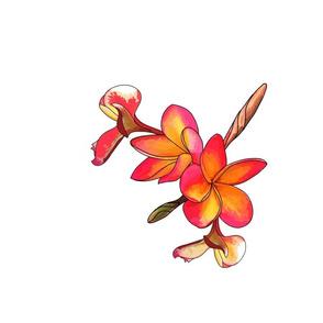 Coloured Frangipani 4 Flowers White Bkgd Half-Drop