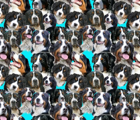 Rbernese-mountain-dog-blue-background_shop_preview