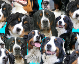 Rbernese-mountain-dog-blue-background_thumb