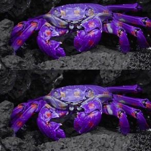 Fantastic Purple Crab