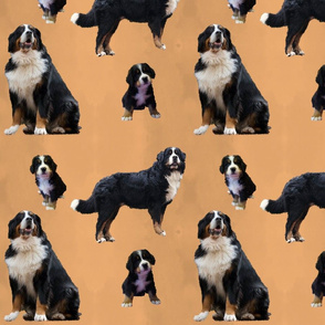 Berner Sennenhund Muster Orange