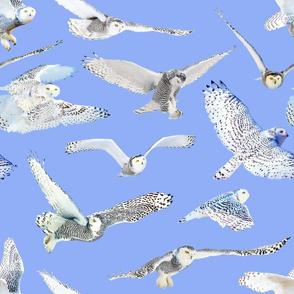 Snowy Owls of Arctic on Sky Blue