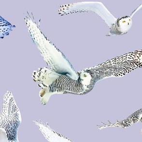 Snowy Owls of Arctic on Lila
