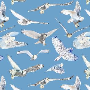 Snowy Owls of Arctic on Aqua
