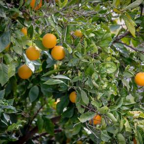 orange tree 2019