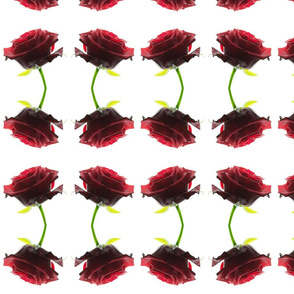 isolated Red Rose Photo on White Background