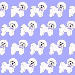 Bichon Frise dog , blue bows