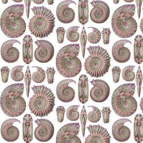 Haeckel Ammonitida Ammonite Opal