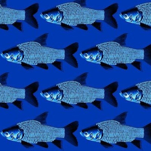 Giant Carp in blues
