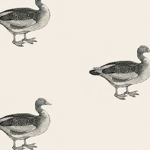 Bewick's Geese