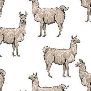 Bare Naked  Llamas
