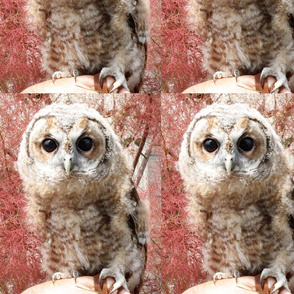Baby Owl Cedric