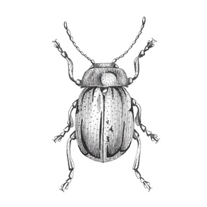 Tansy Beetle Illustration