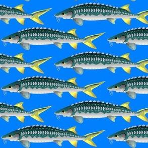 Sturgeons in blue