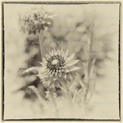 Alyciac_thistle_spoonflower_preview