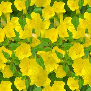yellow primrose repeat
