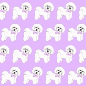 Bichon Frise dog , lilac bows