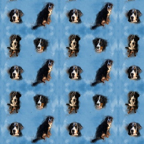 Berner Sennenhund Muster blau