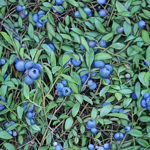 blueberry-plant