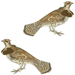 "ruffed grouse, 6"" on white"