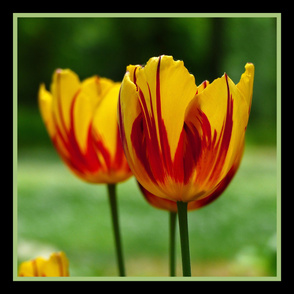 Tulips yellow red – Tulpen, gelb-rot