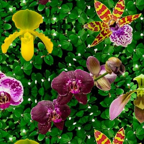 Island Orchids