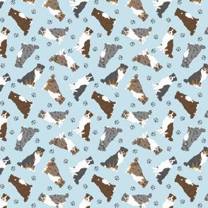 Tiny tailed Australian Shepherds - blue