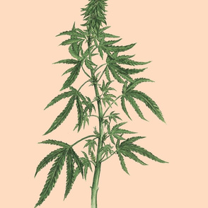 Botanical Cannabis (Peach)