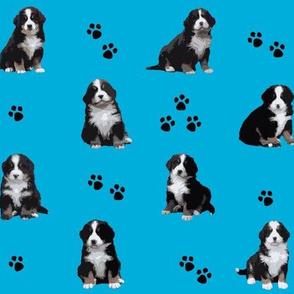 Berner Sennenhund Welpen blau