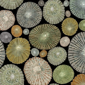 Opihi Shells Large Scale