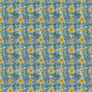 Tasmanian Blue Gum Flowers