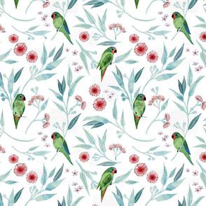 Swift parrots on  white