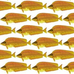 Kelp Greenling fish