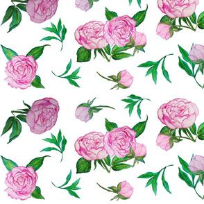 Peonies Rose on White