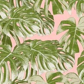Monstera deliciosa  - Swiss cheese plant - pink and green - LAD19