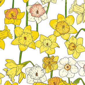 Large Scale Daffodils on White