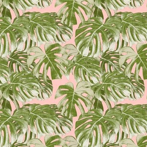 (small scale) Monstera deliciosa  - Swiss cheese plant - pink and green - LAD19