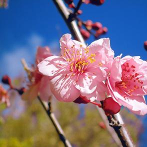 Spring Blossom! Large
