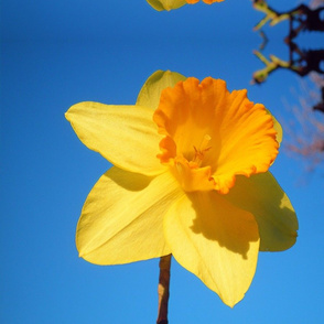 Daffodil Delight - large, mirror