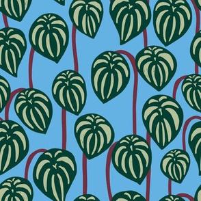 Watermelon Peperomia - Blue