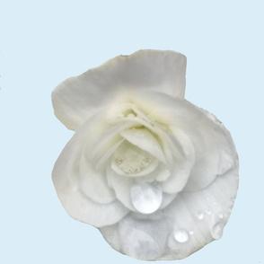 White begonia on pale blue