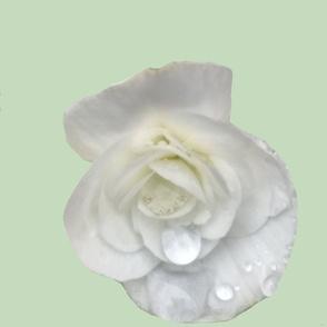 White begonia on pale green