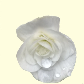 White begonia on pale yellow