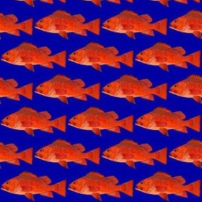 Vermilion Rockfish on deep blue