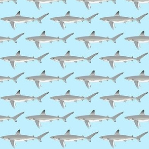 Galapagos Shark on light blue