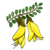 Kowhai flowers