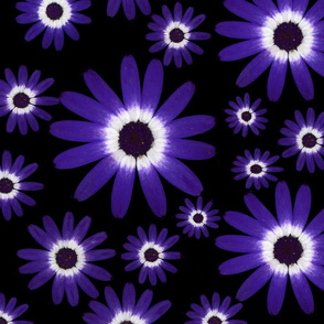 senetti daisies with black background