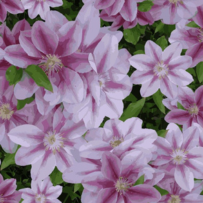 Grandma's Clematis - paint by number style