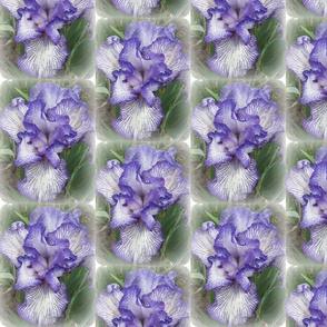 purple veined iris