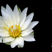 White Waterlilies on Black
